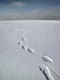 Polar Bear Footprints in Snow, Canada Photographic Print by Jeff Foott