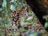 Jaguar in Rainforest, Endangered Photographic Print by Jeff Foott