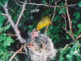 Adult Yellow Warbler , Dendroica Coronata, Feeds Cowbird Chick Photographie par Jeff Foott