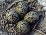 Detail of American Avocet Eggs in Nest Photographie par Jeff Foott