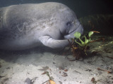 West Indian Manatee (Trichechus Manatus) Eating Water Hyacinth Underwater, Blue Spring State Park Photographic Print by Jeff Foott