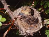 Brown-Headed Cowbird Sits in Yellow Warbler Nest Photographie par Jeff Foott