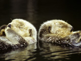 Pair of Sea Otters (Enhydra Lutris) Eating Moon Snails in the Water Photographic Print by Jeff Foott