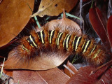 Caterpillar Crawls Among Red Leaves Photographic Print by Jeff Foott