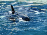 Killer Whale (Orcinus Orca) Mother with Calf Photographic Print by Jeff Foott