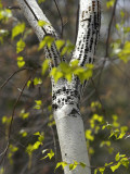 New Hampshire, Ossipee, a White Birch Bears the Marks of Feeding Woodpeckers and its Young Photographic Print by Jamie Gemmiti