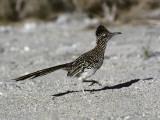 Road Runner (Geococcyx Californianus), Southwest, Usa Reproduction photographique par Jeff Foott
