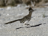 Road Runner (Geococcyx Californianus), Southwest, Usa Photographic Print by Jeff Foott
