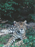 Jaguar Lies on Ground in Tropical Rainforest Photographic Print by Jeff Foott