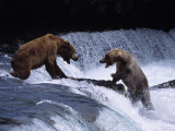Grizzly Bear Fights with Another Bear Photographic Print by Jeff Foott