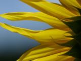 Sunflower Photographic Print by Hisako Tanaka