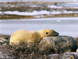 Polar Bear Sleeps with its Head on a Rock Photographic Print by Jeff Foott