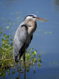 Great Blue Heron Portrait, Florida, Usa Photographic Print by Jeff Foott