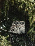 Two Great Gray Owls Perch on Tree Limb Photographic Print by Jeff Foott