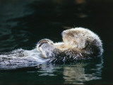 Sea otter sleeps while floating on back Photographic Print by Jeff Foott