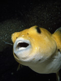 Detail of the Face of a Golden Puffer Photographic Print by Jeff Foott