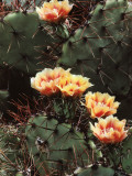 Detail of a Brown Spine Prickly Pear Cactus in Bloom Photographic Print by Jeff Foott