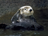 Sea Otter Photographic Print by Jeff Foott