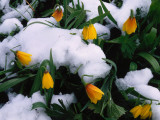 Rocky Mountain Flowers Covered in Snow Photographic Print by Jeff Foott