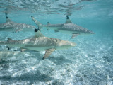 Blacktip Reef Sharks Swim in Shallow Water Photographic Print by Jeff Foott