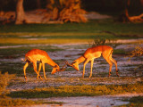 Impala Fight Each Other Photographic Print by Jeff Foott