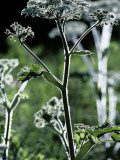 Cow Parsnip Photographic Print by Jeff Foott