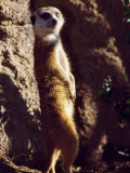 Meercat Stands on its Hindlegs Photographic Print by Jeff Foott