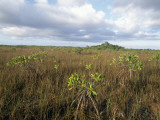 Red Mangrove in Everglades Np Photographic Print by Jeff Foott