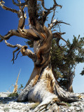 Bristlecone Pine, Ancient Tree Photographic Print by Jeff Foott