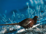 Ringed-Neck Pheasant Treads Through Terrain Covered by Snow Photographic Print by Jeff Foott