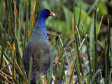 Purple Gallinule (Porphyrula Martinica) Standing in Marsh Grasses, Everglades National Park Photographic Print by Jeff Foott