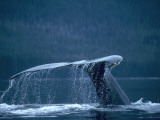 Tail and fluke of humpback whale diving, Southeast Alaska Photographic Print by Jeff Foott