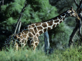 Reticulated Giraffe (Giraffa Camelopardalis Reticulata) with Red Billed Oxpecker Photographic Print by Jeff Foott