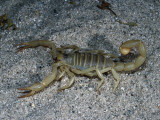 Giant Desert Hairy Scorpion Sits on Sand Photographic Print by Jeff Foott