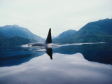 Full Length Detail of a Killer Whale in Water with Mountains in the Background Photographic Print by Jeff Foott