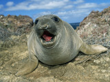 Northern Elephant Seal Pup Photographic Print by Jeff Foott