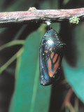 Monarch Butterfly in Chrysalis Stage Photographic Print by Jeff Foott