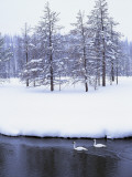 Trumpeter Swans Swim in Madison River in Winter Photographic Print by Jeff Foott