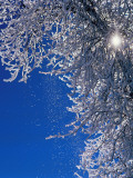 Cottonwood Tree with Hoar Frost Melting in the Winter Sun Photographic Print by Jeff Foott