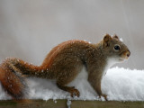 American Red Squirrel in the Snow Photographic Print by Heather Katsoulis