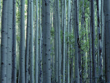 Multiple Aspen Tree Trunks Photographic Print by Jeff Foott