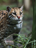 Ocelot Walks Through the Jungle Photographic Print by Jeff Foott
