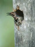 Yellow-Shafted Northern Flicker Peering Out of a Nest Cavity in the Trunk of a Palm Tree Photographic Print by Jeff Foott