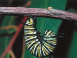 Monarch Caterpillar Hangs from a Tree Branch Photographic Print by Jeff Foott