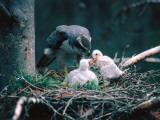 Adult Goshawk Feeding its Chicks Photographic Print by Jeff Foott