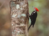 Pileated Woodpecker Perched on Side of Tree Photographic Print by Jeff Foott