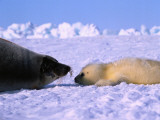 Mother and Newborn Harp Seal Pup Photographic Print by Jeff Foott