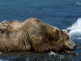 Grizzly Bear Sleeping, Mcneil River, Alaska Photographic Print by Jeff Foott