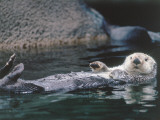 Sea Otter Pup Floats on its Back Photographic Print by Jeff Foott