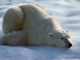 Polar Bear Relaxing on Ice, Canada Photographic Print by Jeff Foott